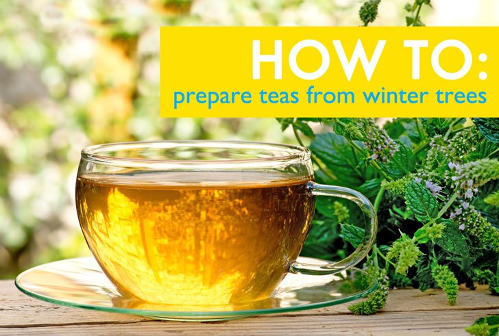 How to Prepare Teas from Winter Trees