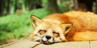 fox sleeping