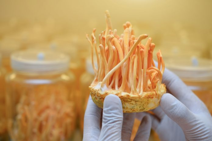 cordyceps mushroom